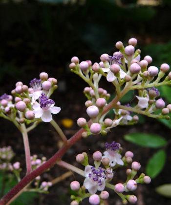 Cardiandra amamioshimensis ist eine besonders zarte Scheinrispenhortensie. Eine Rarität für den Schattengarten.
