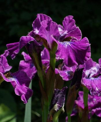 Iris sibirica 'Weinkönigin' ist unglaublich blühfreudig und schiebt Blüte um Blüte nach.