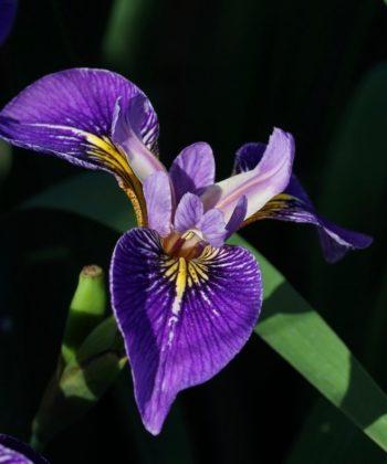 Die Schwertlilie Iris x 'Appointer' kann sowohl als Wasserpflanze, als auch im feuchten Gartenboden kultiviert werden.
