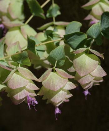 Origanum 'Kent Beauty' ist ab Juni mit Kaskaden von üppigen, hopfenartigen Scheinblüten bedeckt.