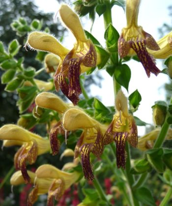 Salvia x 'Amber' ist ein völlig winterharter Ziersalbei mit beindruckend großen Blüten.