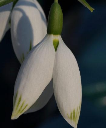 Typisch für Galanthus elwesii 'Big Boy' sind die grünen Spitzen der riesigen Blüten.