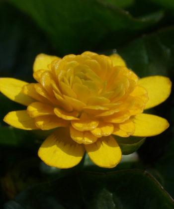 Ficaria 'Collarette' ist eine ungewöhnliche Auslese von Ficaria verna mit dicht gefüllter Blütenmitte.