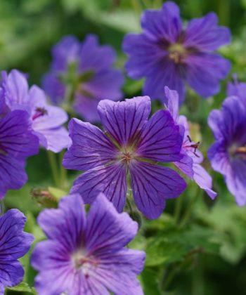 Der Storchschnabel Geranium x magnificum 'Rosemoor' sorgt in jedem Garten für eine üppige Blütenpracht.
