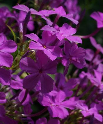 Phlox carolina 'Little Cahaba Glow' mit seinen leuchtenden Blüten.