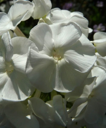 Phlox paniculata 'Schneehase' ist ein kompakter Traum in Weiß. Die Pflanzen blühend viel und bleiben niedrig.