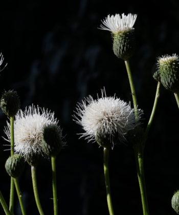 Klasea bulgarica ist ein noch unbekannter europäischer Korbblütler.