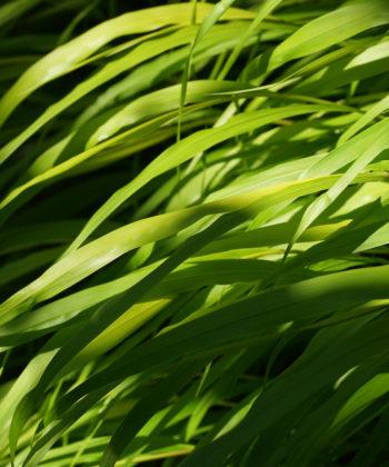 Hakonechloa macra 'All Gold' ist ein durchgehend gelb-grün gefärbtes Japangras.