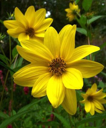 Helianthus 'Anne' ist eine der zartesten Staudensonnenblumen.