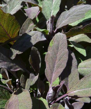Der Gewürzsalbei Salvia officinalis 'Robin Hill' schmeckt hervorragend und sieht dabei auch noch schick aus.