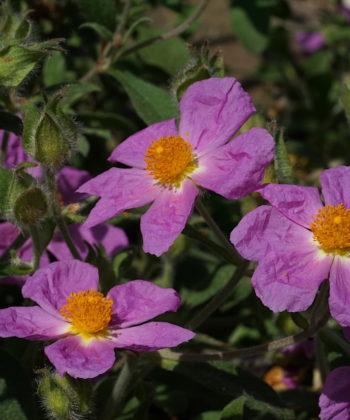 Cistus creticus GR130/11 zur Blütezeit.