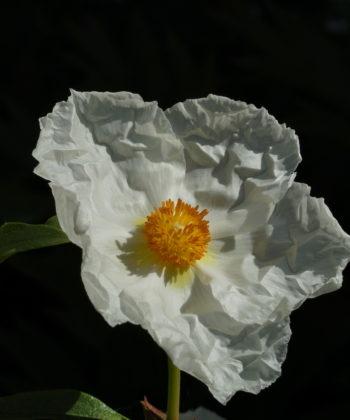 Cistus x cyprius var. ellipticus 'Elma'.