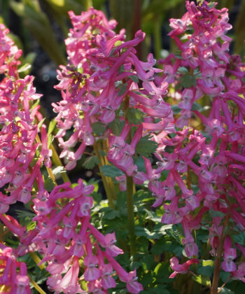 Corydalis solida 'Dieter Schacht' ist eine Sorte des Gefingerten Lerchensporns und zeichnet sich durch kräftig rosafarbene Blüten aus.