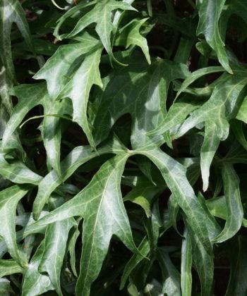 Hedera helix 'Maple Leaf' besitzt eine ganz eigene Ausstrahlung.