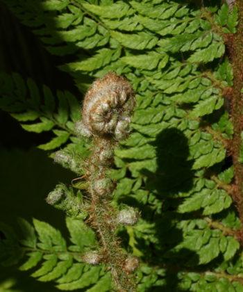Polystichum setiferum 'Foliosum Superbum' während des Austriebs.