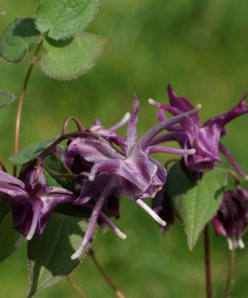 Die Elfenblume Epimedium grandiflorum 'Purple Prince' zeigt, je nach Witterung, einen bläulichen Hauch über der violetten Grundfarbe.