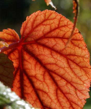Die winterharte Begonie Begonia sinensis 'Red Undies' hat leuchtend rote Blattunterseiten. Daher der Name