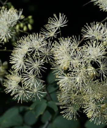 Thalictrum aquilegiifolium var. intermedium BSWJ10965 zeigt immer weiße Blüten.