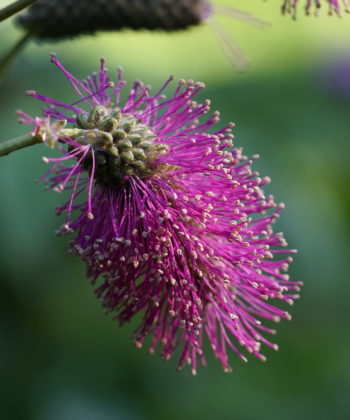 Die bürstenartigen Blütenstände von Sanguisorba hakusanensis 'Alster Luft'.
